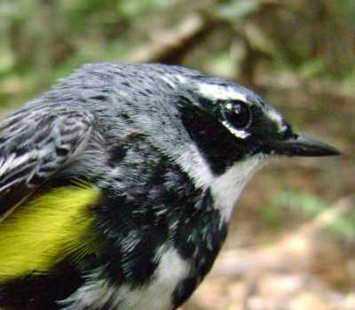 yellow_rumped_warbler2