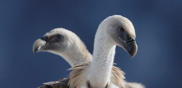 agami-vale-gier-griffon-vulture.jpg
