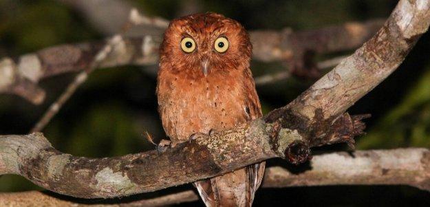 sokoke_scops_owl.jpg