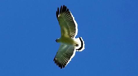 white-hawk2.jpg
