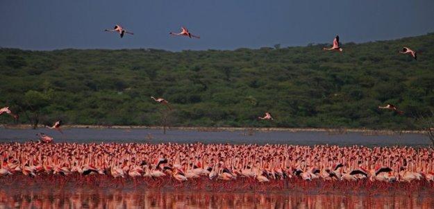 optimized-lake-bogoria-flamingos.jpg