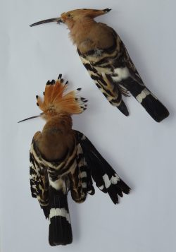 Two-dead-Hoopoes.jpg