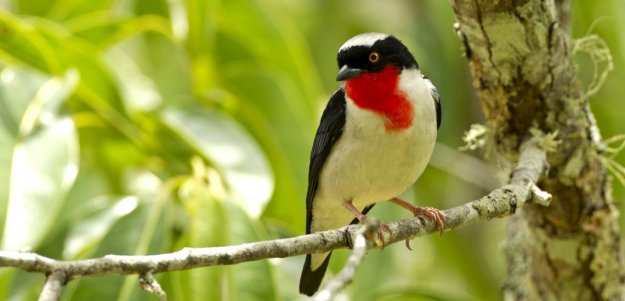 cherry_throated_tanager.jpg
