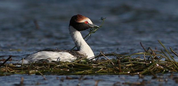 hooded_grebe.jpg
