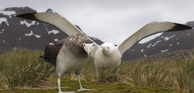 wandering_albatross.jpg